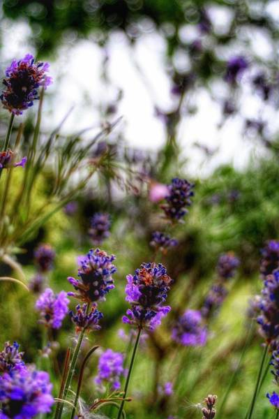 Photograph - Lavender by Abbie Shores