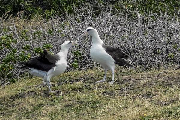Laysan Albatross Hawaii #2 Art Print