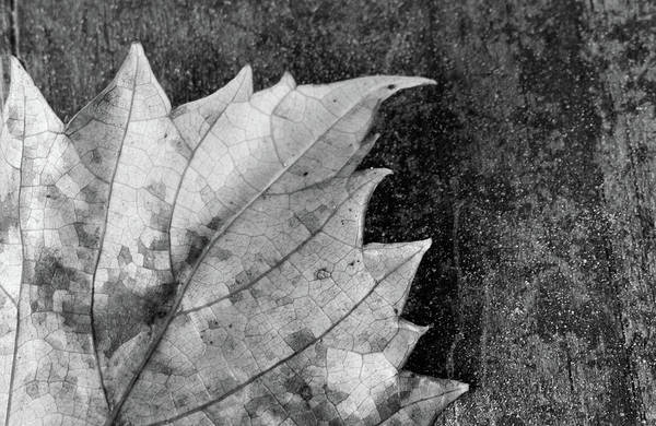 Photograph - Leaf by Larah McElroy