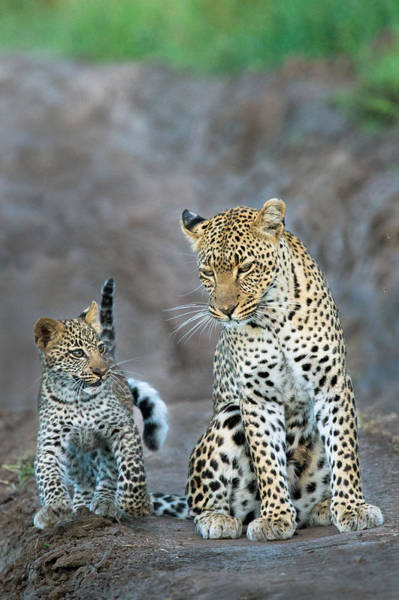 Panthera Pardus Photograph - Leopard Panthera Pardus Family by Panoramic Images