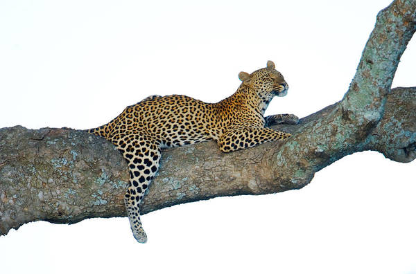 Panthera Pardus Photograph - Leopard Panthera Pardus Sitting by Panoramic Images