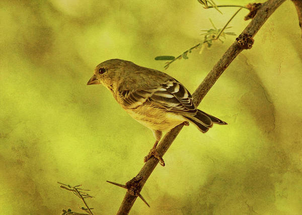 Photograph - Lesser Goldfinch In Acacia Tree Txt by Theo O'Connor