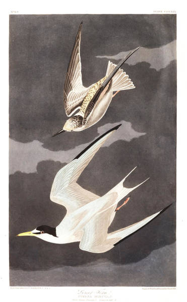 Wall Art - Painting - Lesser Tern by John James Audubon