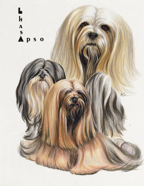 Drawing - Lhasa Apso In Colored Pencil by Barbara Keith
