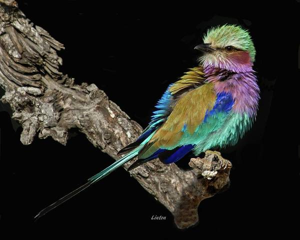 Photograph - Lilac-breasted Roller by Larry Linton