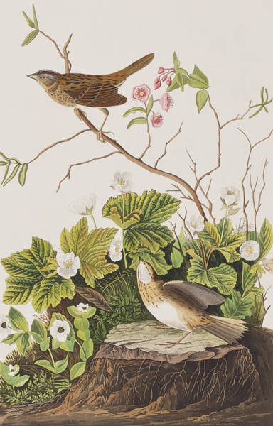 Stump Painting - Lincoln Finch by John James Audubon