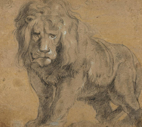 Drawing - Lion  by Peter Paul Rubens