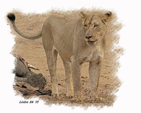 Digital Art - Lioness At The Kill by Larry Linton