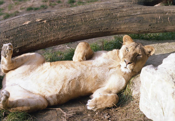 Photograph - Lioness Relaxing by John Bowers
