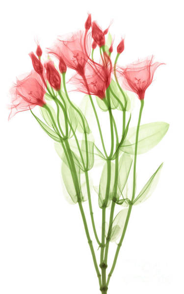 Photograph - Lisianthus Flowers, X-ray by Ted Kinsman