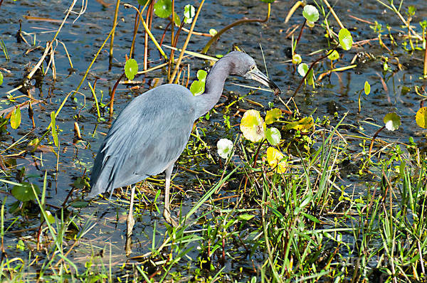 Photograph - Little Blue Heron Hunting by Photos By Cassandra