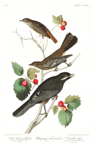 Wall Art - Painting - Little Tawny Thrush by John James Audubon