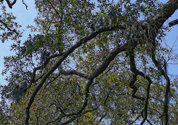 Photograph - Live Oak Trees by Anthony Dezenzio