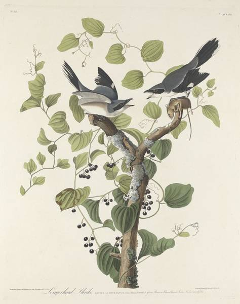Log Drawing - Loggerhead Shrike by Dreyer Wildlife Print Collections