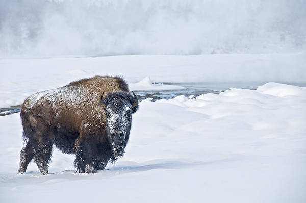 Photograph - Lone Bison by Gary Lengyel