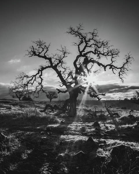 Photograph - Lone Oak  by Lee Harland