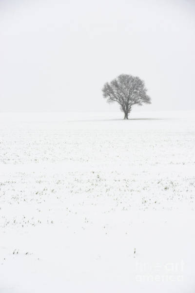 Wall Art - Photograph - Lone Tree In Winter by Amanda Elwell