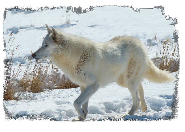 Photograph - Lone White Wolf by OLena Art - Lena Owens