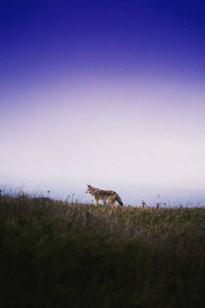 Painting - Lone Wolf, Tomales Point, Inverness, United States by Celestial Images