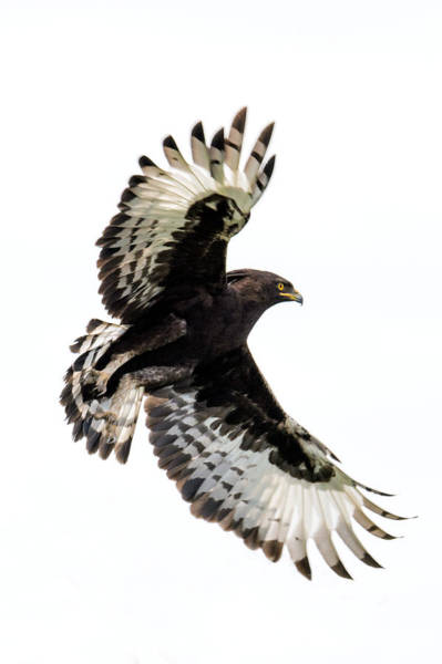 Wall Art - Photograph - Long-crested Eagle Lophaetus by Panoramic Images