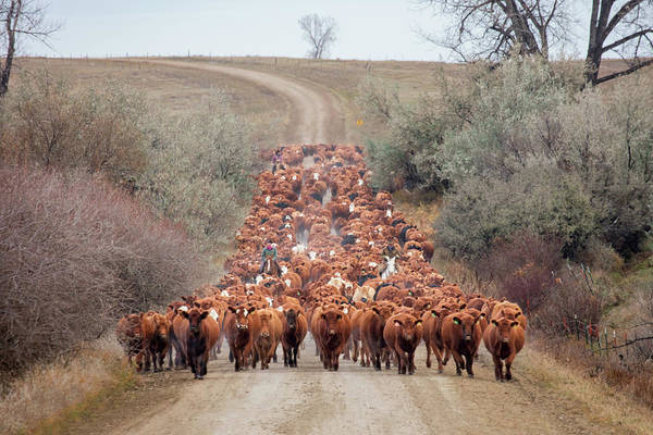 Livestock Photograph - Long Line Of Reds by Todd Klassy