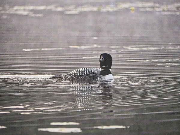Photograph - Loon On Lake Pennesseewassee - Norway - Maine by Steven Ralser