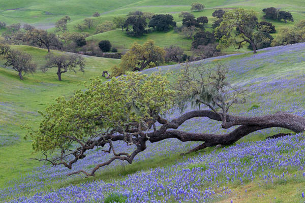 Figueroa Mountain Photograph - Los Olivos Lupine Wildflowers by Dean Hueber