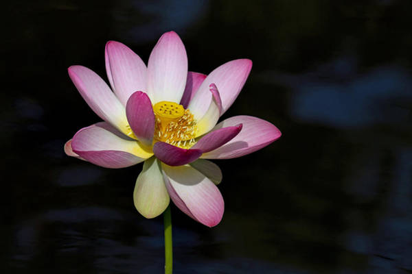 Photograph - Lotus Bloom by Jerry Gammon