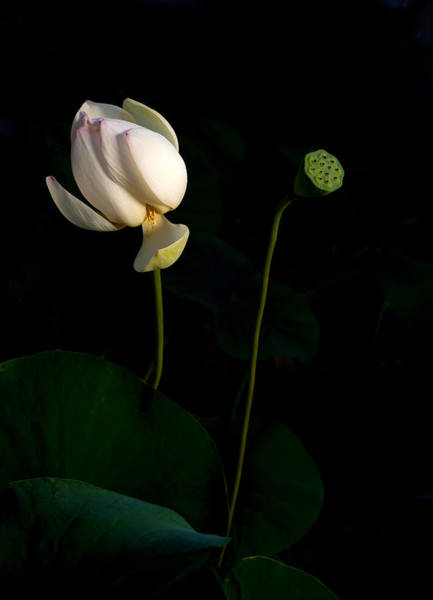 Wall Art - Photograph - Lotus Pair by Catherine Lau