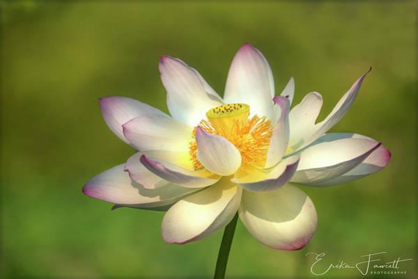 Photograph - Lotus by Erika Fawcett