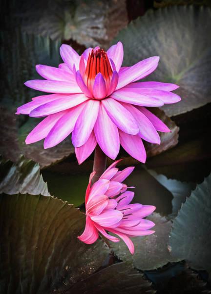 Photograph - Splendor In Water-waterlily by Usha Peddamatham