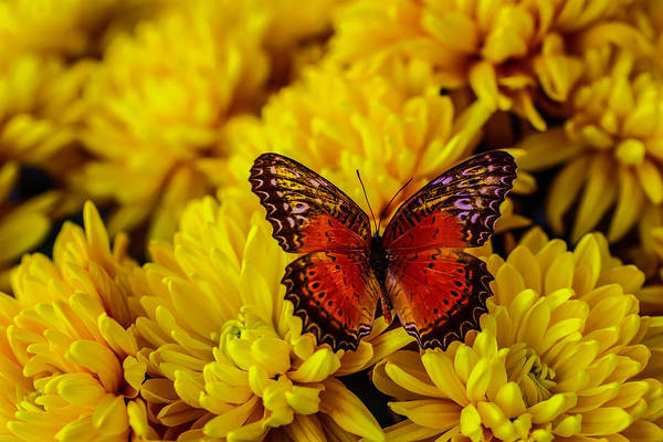 Mums Photograph - Lovely Orange Butterfly by Garry Gay
