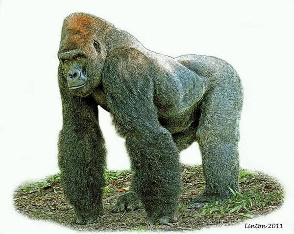 Digital Art - Lowland Silverback Gorilla by Larry Linton