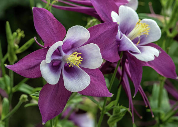 Wall Art - Photograph - Magenta Columbines by Dawn Key
