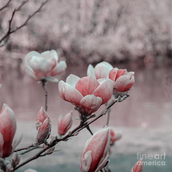 Photograph - Magnolia Blossomed Infrared Effect by Marina Usmanskaya