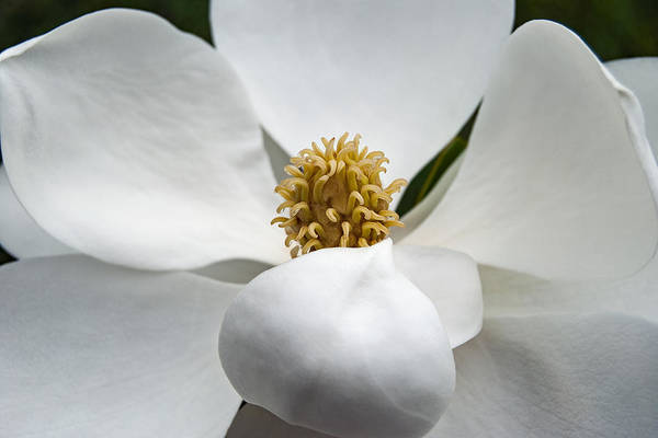 Photograph - Magnolia Flower by Nathan Little