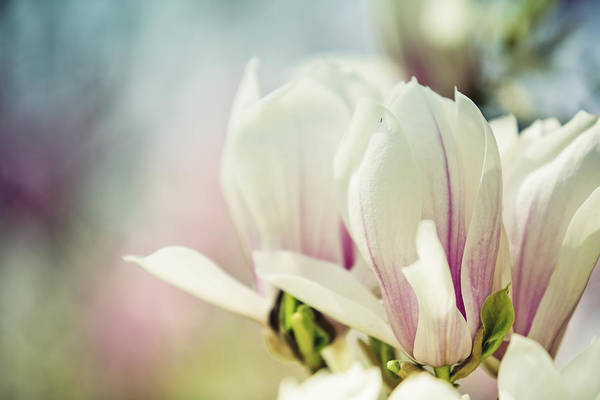 Shrubs Photograph - Magnolia by Nailia Schwarz