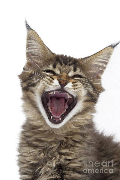 Photograph - A Maine Coon Kitten by Jean-Michel Labat