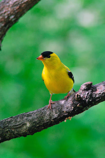 Photograph - Male American Goldfinch  by Thomas R Fletcher