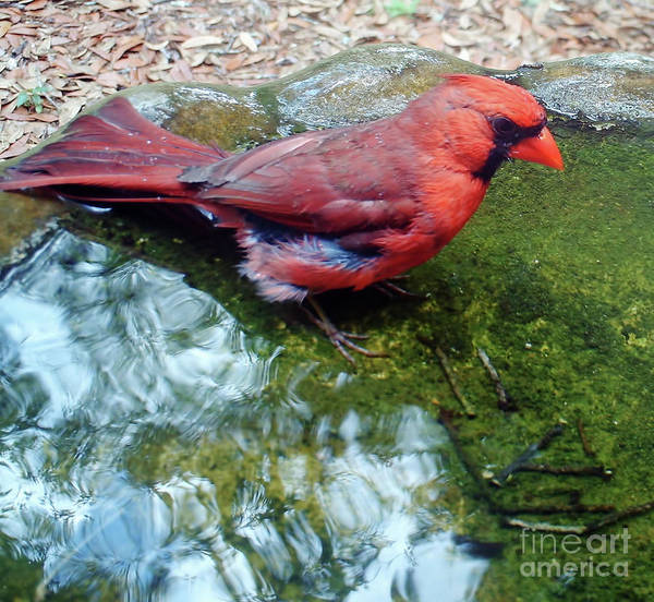 Photograph - Male Cardinal In The Bath by D Hackett