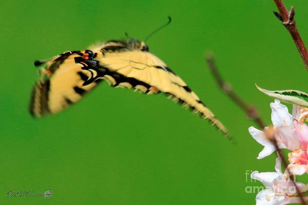 Caprifoliaceae Photograph - Male Eastern Tiger Swallowtail Butterfly In Flight by J McCombie