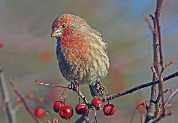 Berries Wall Art - Photograph - Male House Finch by Gary Wing