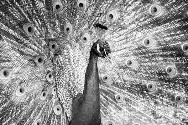 Photograph - Male Indian Peacock-bw by Joye Ardyn Durham
