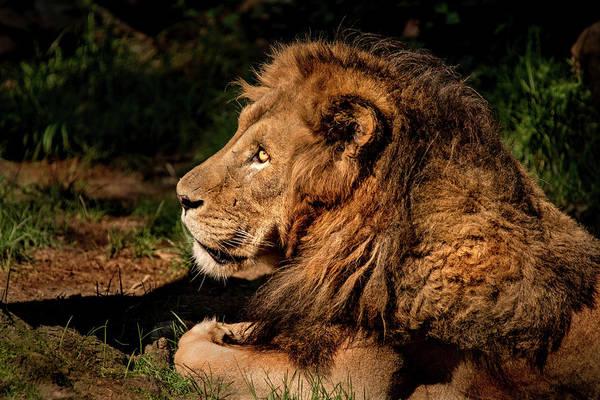 Photograph - Male Lion-profile by Don Johnson