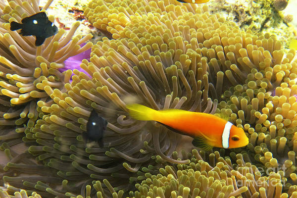 Photograph - Maledives Clown Fish by Juergen Held