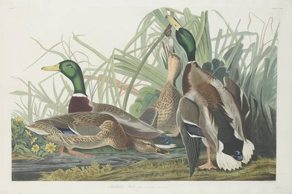 Wall Art - Drawing - Mallard Duck by Dreyer Wildlife Print Collections
