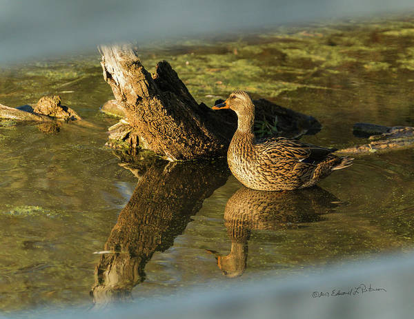 Photograph - Mallard Hen by Edward Peterson