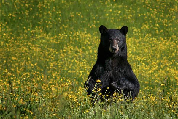 Photograph - Mama Bear by Darylann Leonard Photography