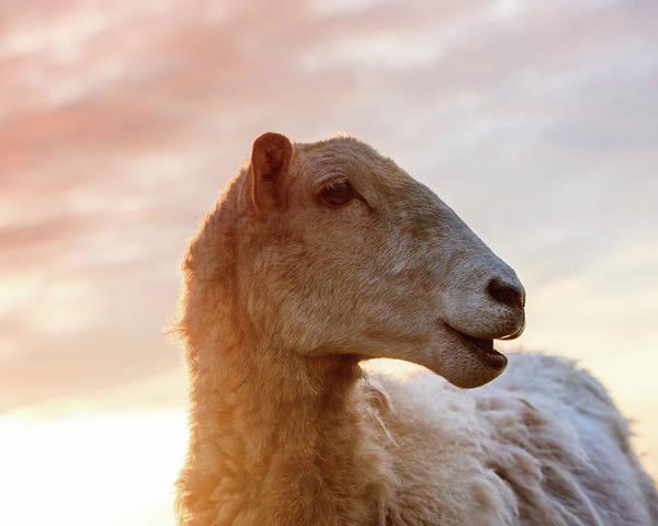 Wall Art - Photograph - Mama Sheep by Lucid Mood
