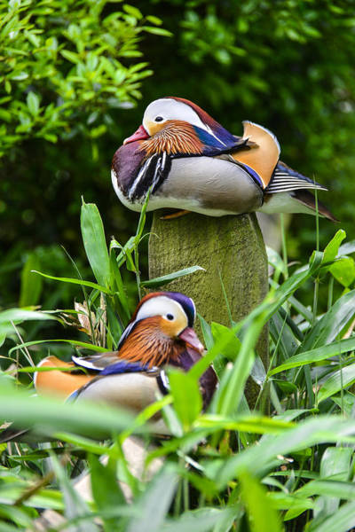 Photograph - Mandarin Duck by Bill Hosford